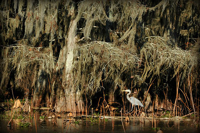 A blue heron in Lake Martin