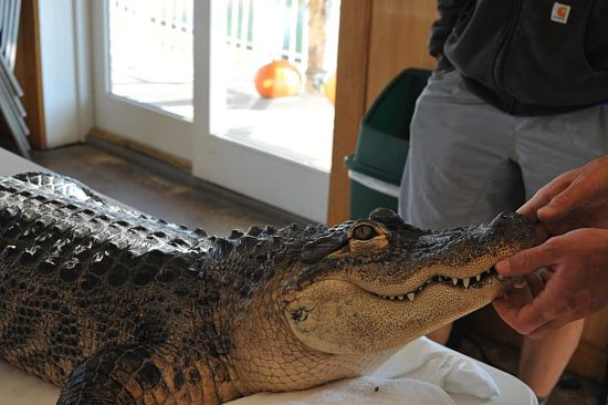 Yes, Bubba is a real, live gator